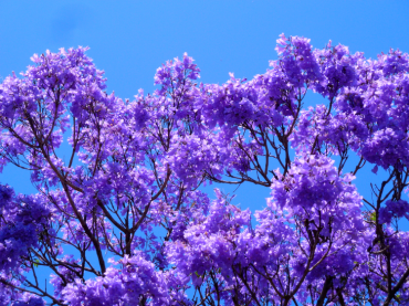 Straight Out of A Dream : Jacaranda Trees