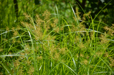"Nutsedge Weeds Can Drive You ""Nuts""!"